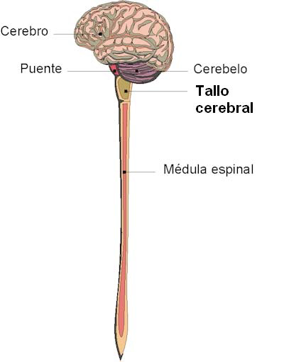 El tallo cerebral